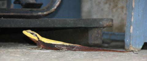 Lizard at Shravanabelagola IMG_5631